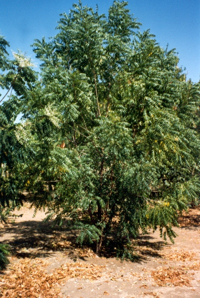 A.indica large