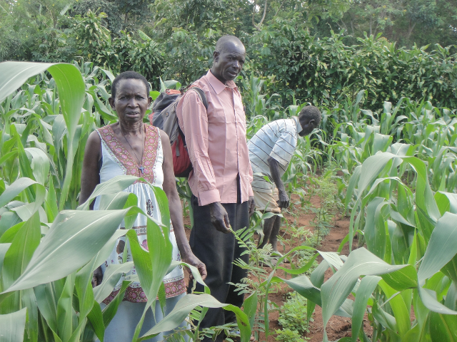 farmers planting tephrosia in maize field